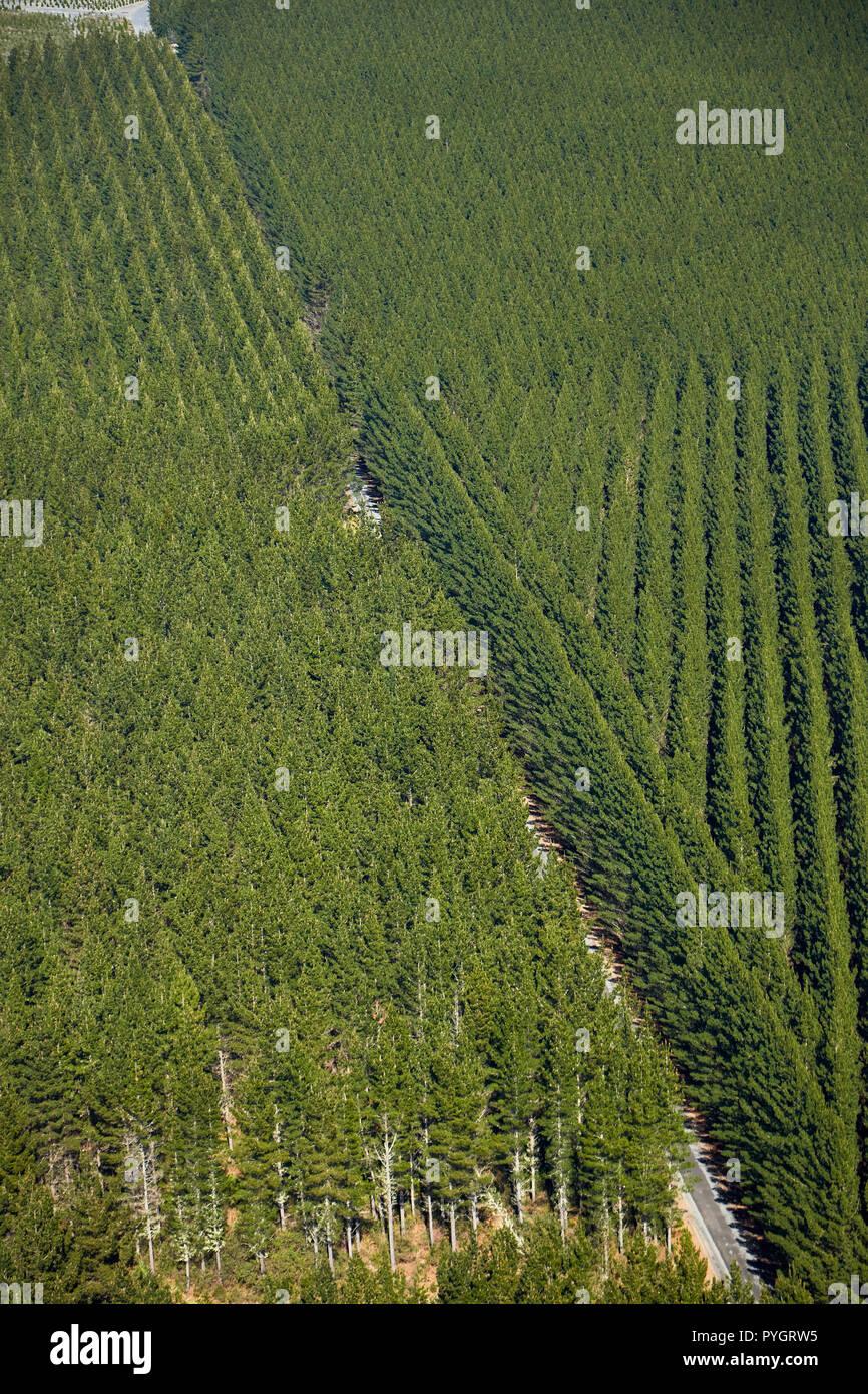 Pine forests below Mount Tarawera, near Rotorua, North Island, New Zealand - aerial - Stock Image