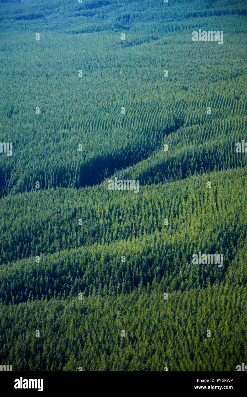 Pine forests below Mount Tarawera, near Rotorua, North Island, New Zealand - aerial - Stock Image
