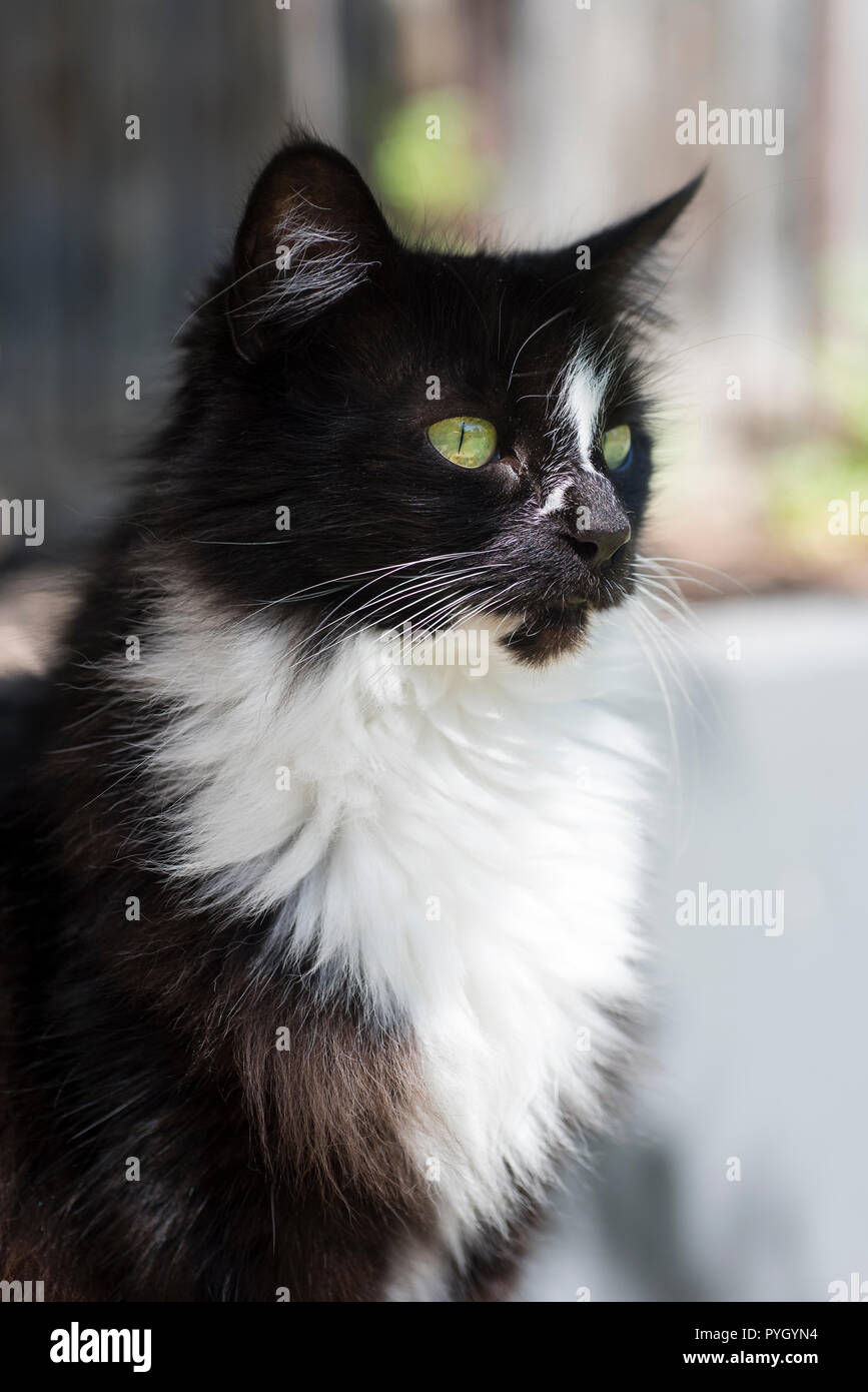 Black and white cat with green eyes, portrait - Stock Image