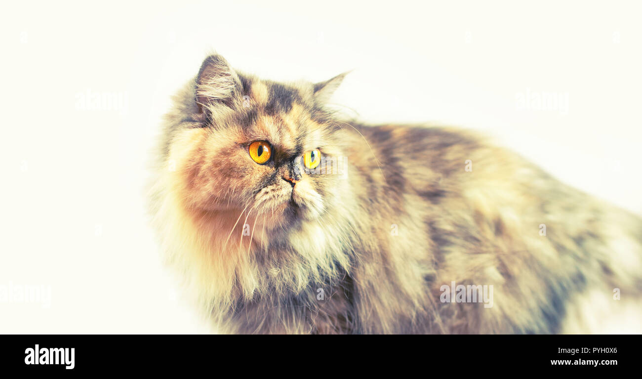 Banner Fluffy colorful Persian cat on a light background. Beautiful domestic long-haired young cat Stock Photo