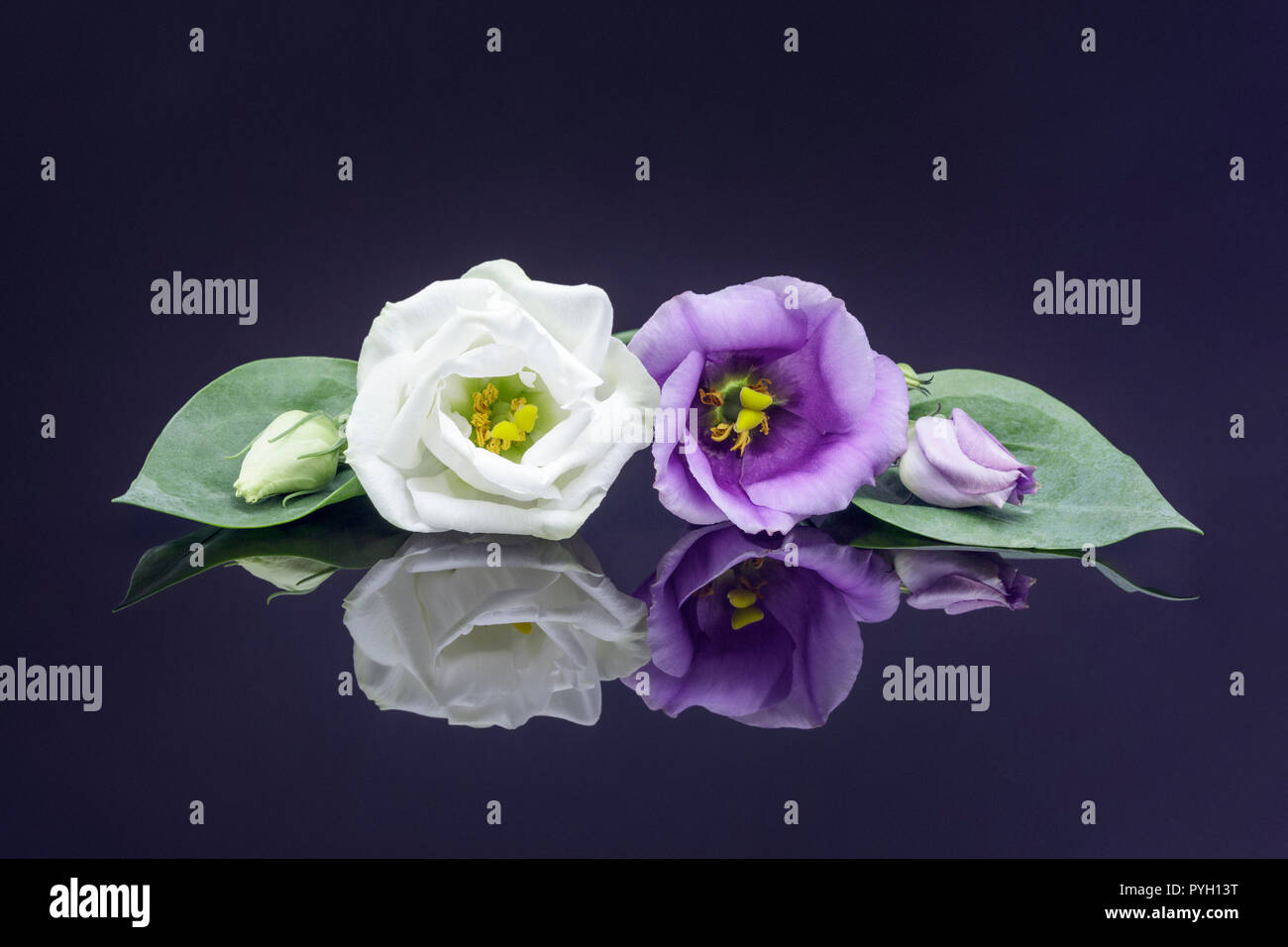 White and purple Lisianthus blooms - Stock Image