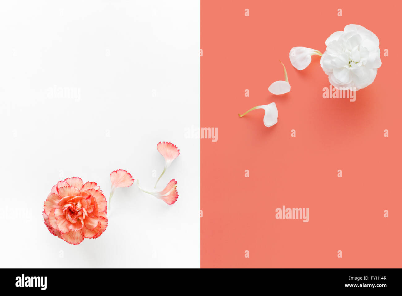 Two carnations on duo color background - Stock Image