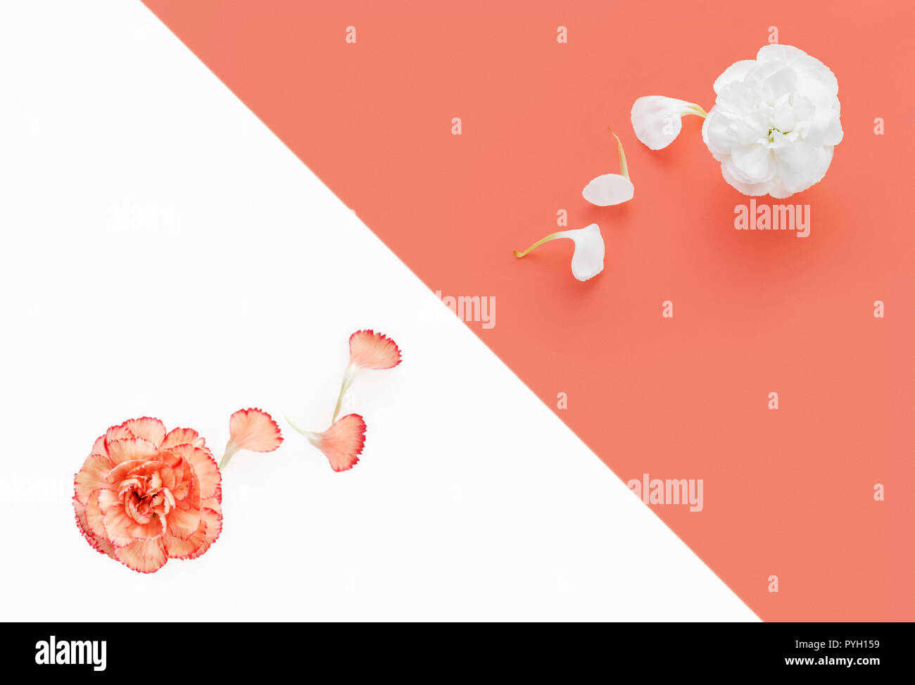 White and coral pink Carnations on duo color background - Stock Image