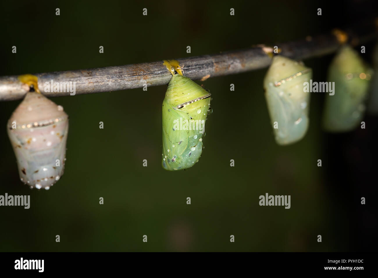 Several butterfly pupas on the brunch, macro, candid light - Stock Image