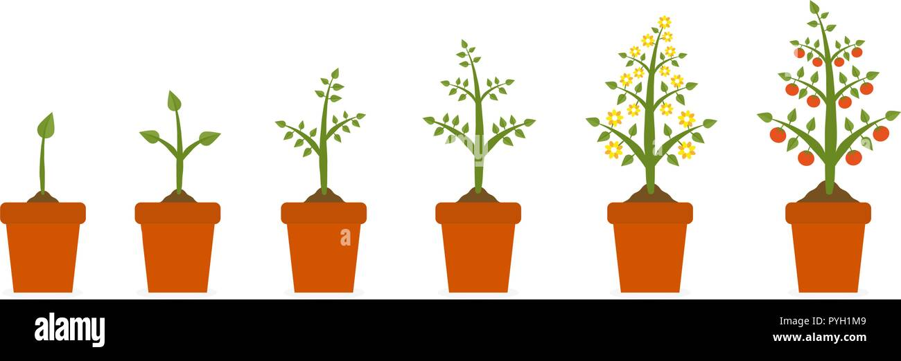 Plant growth stages in in ceramic pot. Tree with green leaf and red fruit. Planting vegetables concept presentations on white background. - Stock Vector