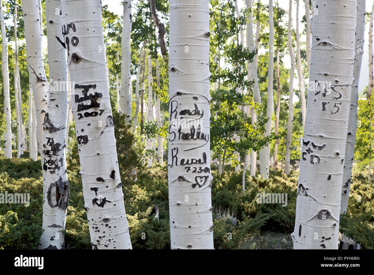 Carved initials, names & dates on Quaking Aspen trees,  damaging the bark & cadmium layer  of the trees, Pando Clone, also known as Trembling Giants. - Stock Image