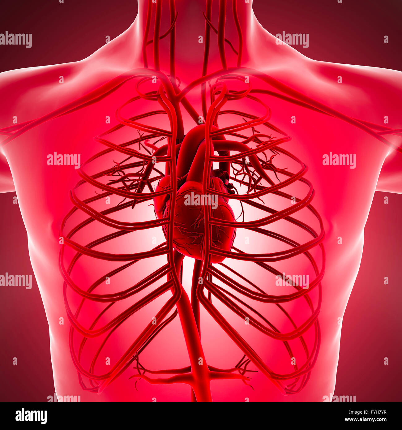 Human Body X-ray View Of The Circulatory System With Heart
