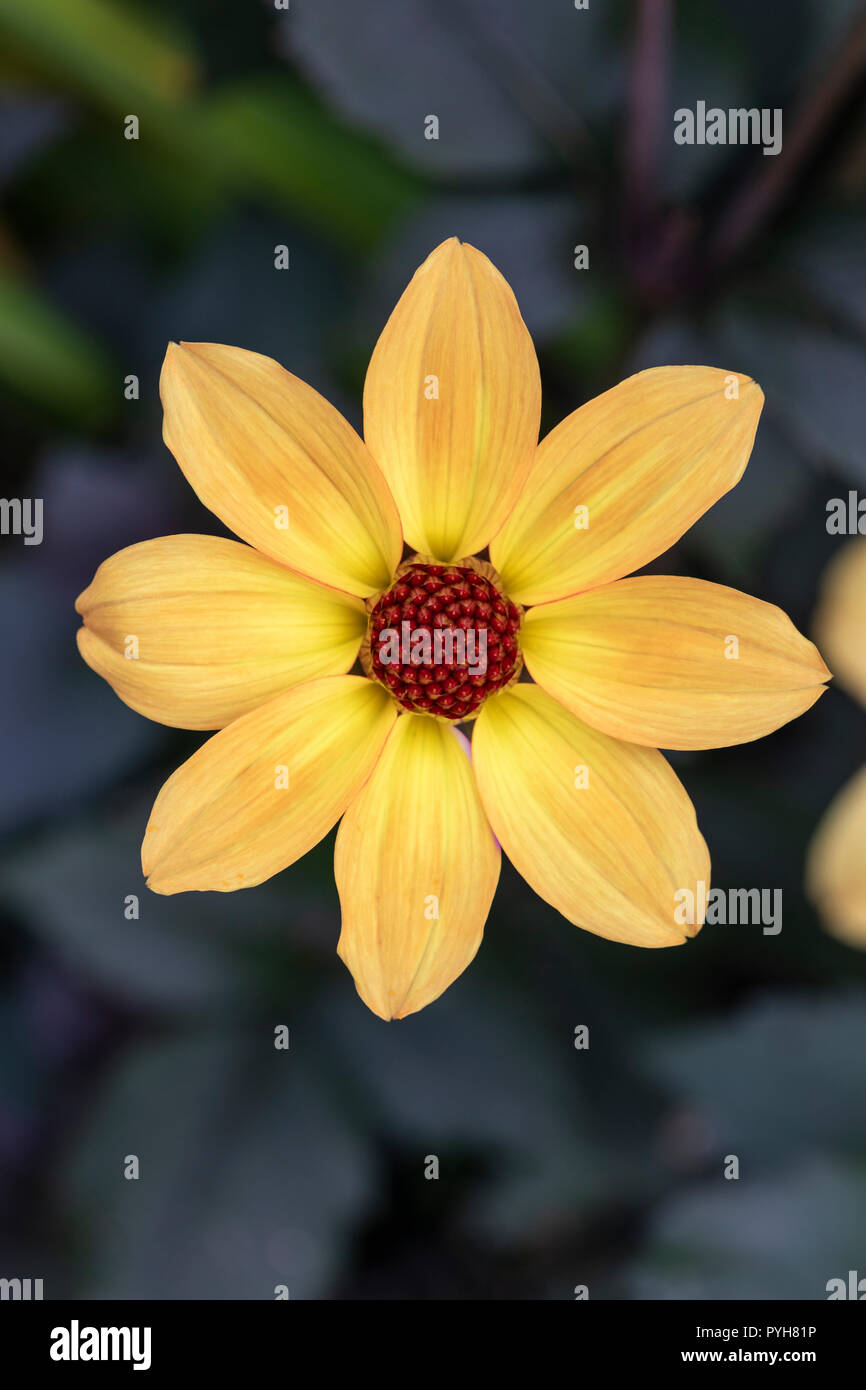 Close up of a beautiful orange / yellow single flower dahlia against a dark background - Stock Image