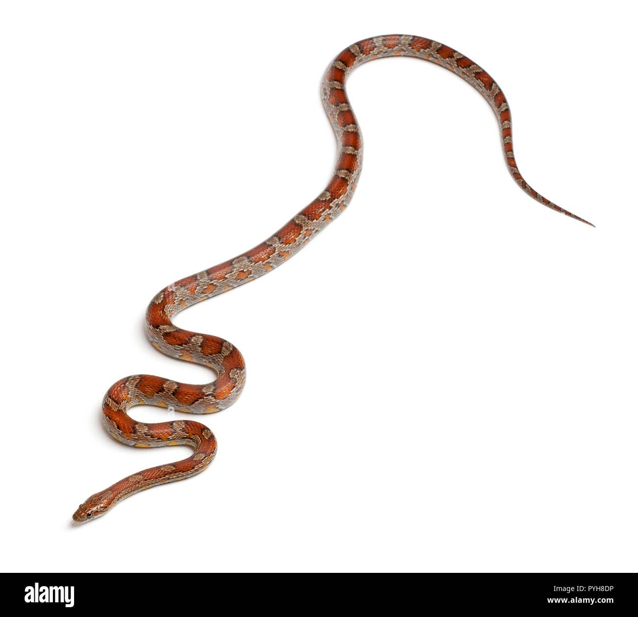 Miami Corn Snake or Red Rat Snake, Pantherophis guttatus, in front of white background Stock Photo