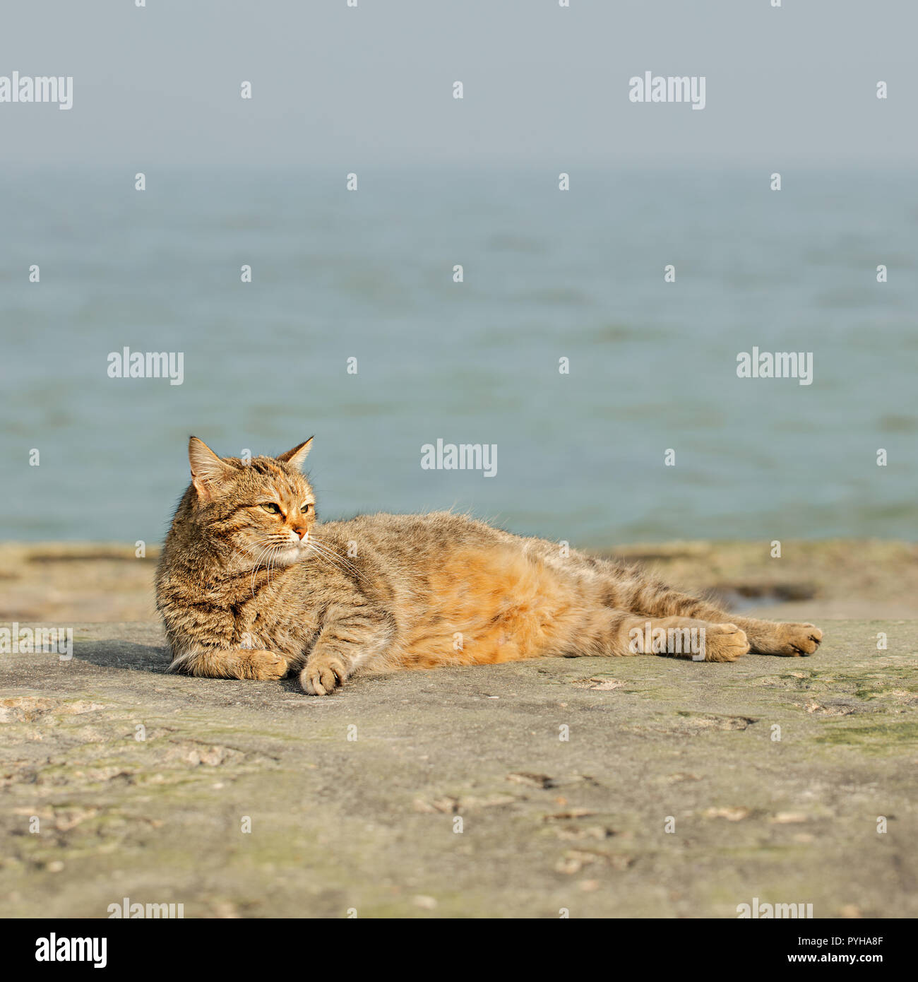 43484670fc887e Funny grey cat on the beach against the sea. Selective focus Stock ...