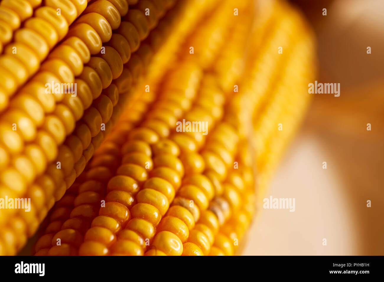 Ears of dried dent corn, sometimes called feed corn. - Stock Image