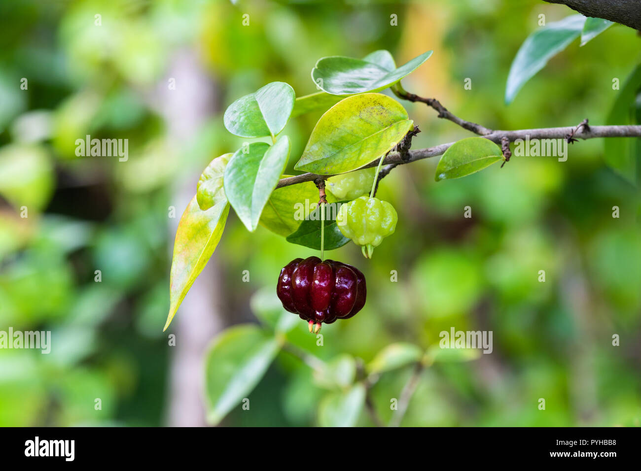 Solitary ripe red Suriname cherry (eugenia uniflora) handing from the end of a branch; more bushes in the background. - Stock Image