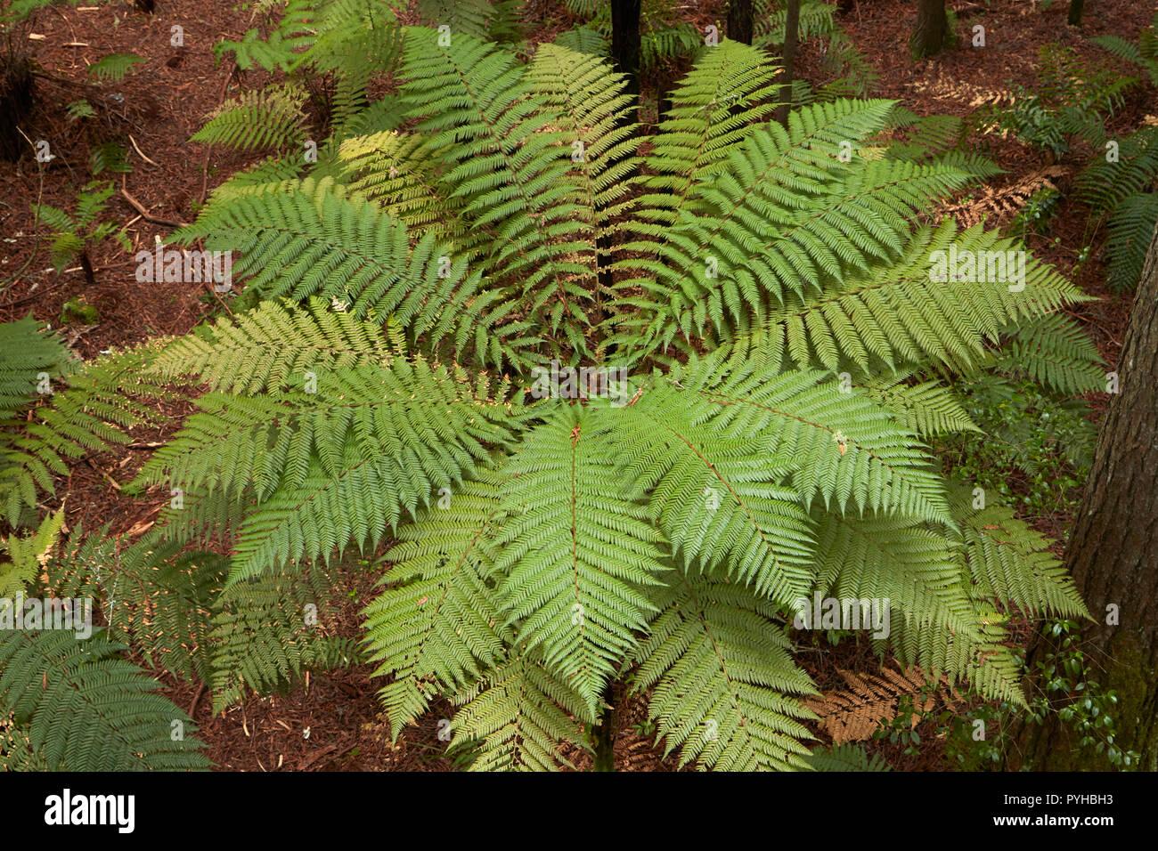 Tree fern, Redwoods Forest, Rotorua, North Island, New Zealand - Stock Image