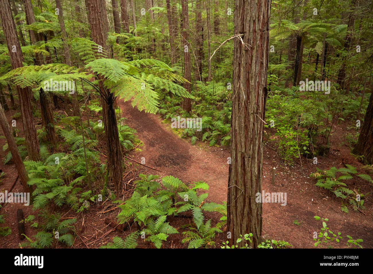 View over redwoods, ferns and walking track, from Redwoods Treewalk at The Redwoods (Whakarewarewa Forest), Rotorua, North Island, New Zealand - Stock Image
