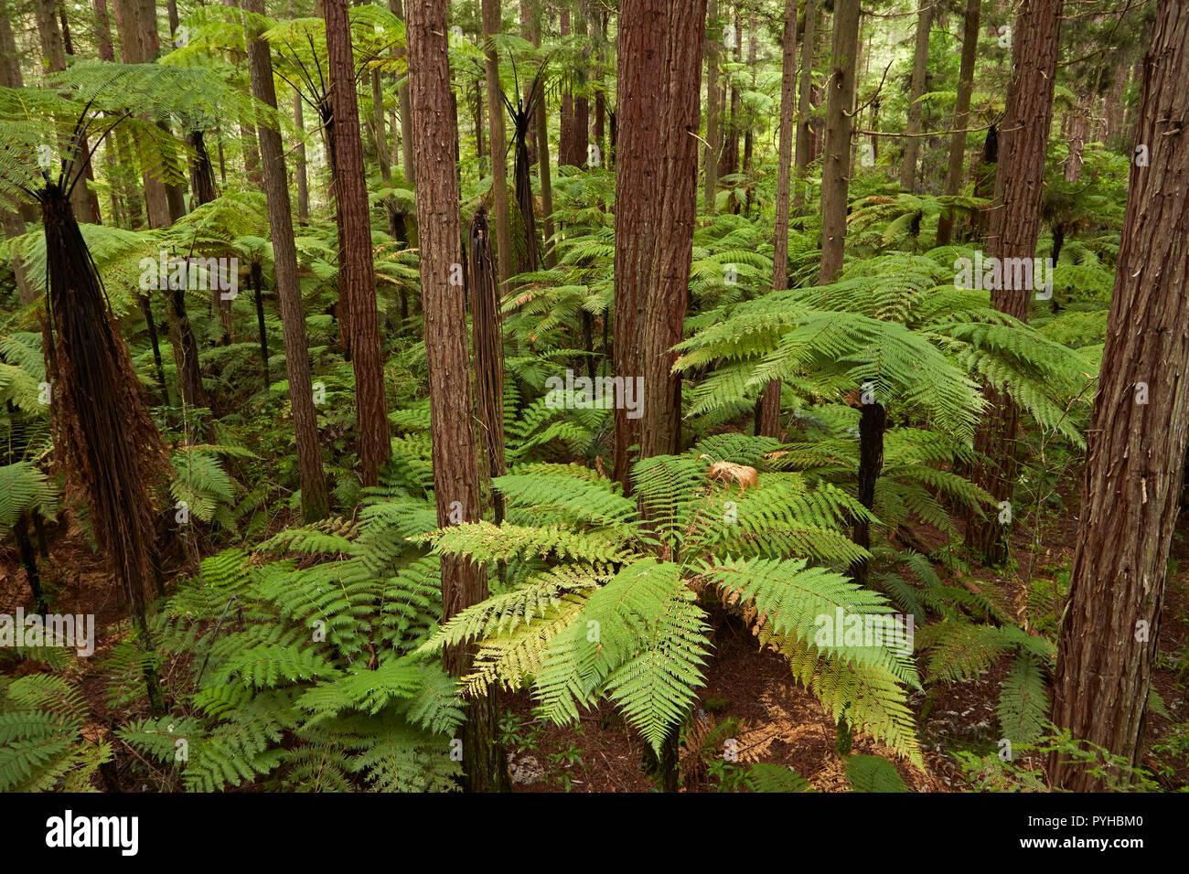 View over redwoods and ferns from Redwoods Treewalk at The Redwoods (Whakarewarewa Forest), Rotorua, North Island, New Zealand - Stock Image