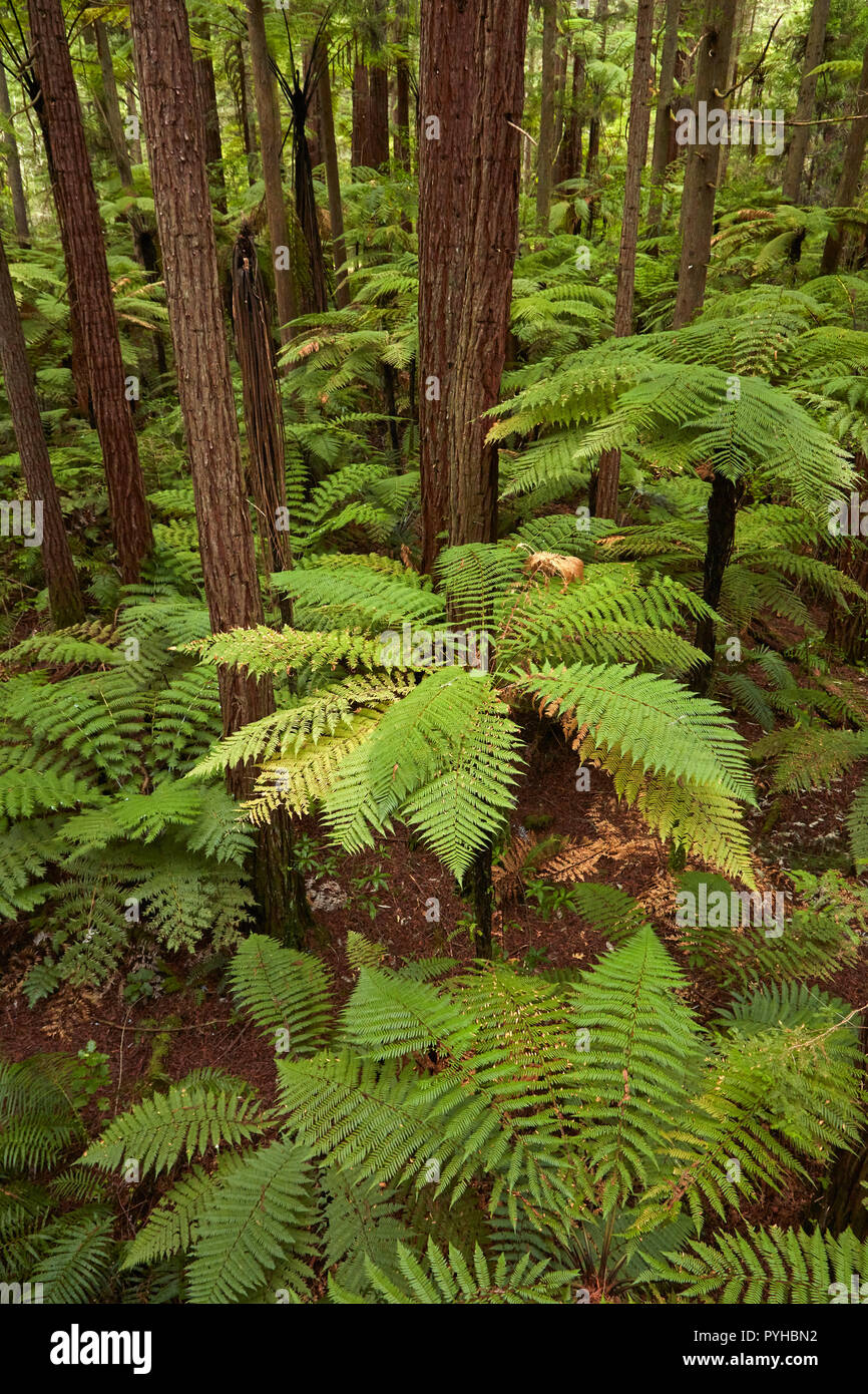 View over redwoods and ferns, from Redwoods Treewalk at The Redwoods (Whakarewarewa Forest), Rotorua, North Island, New Zealand - Stock Image