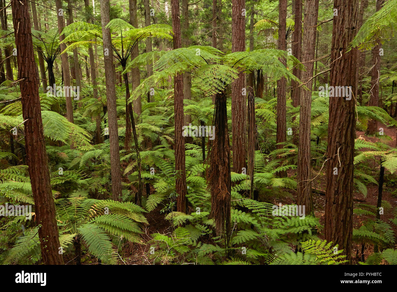 View over redwoods and ferns from Redwoods Treewalk at The Redwoods (Whakarewarewa Forest), Rotorua, North Island, New Zealand - Stock Image
