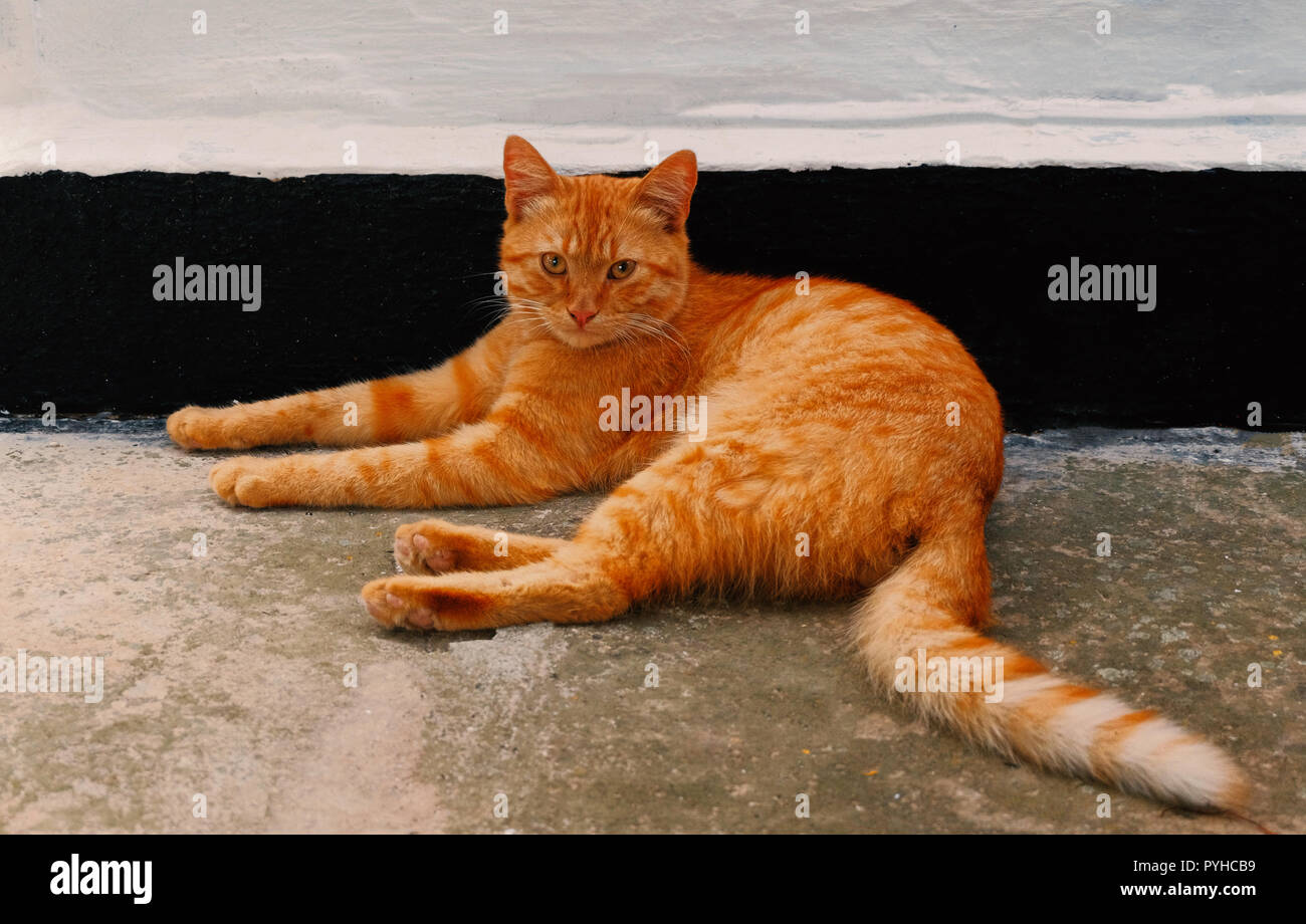 Orange cat resting near the wall in shadow in sunny afternoon - Stock Image