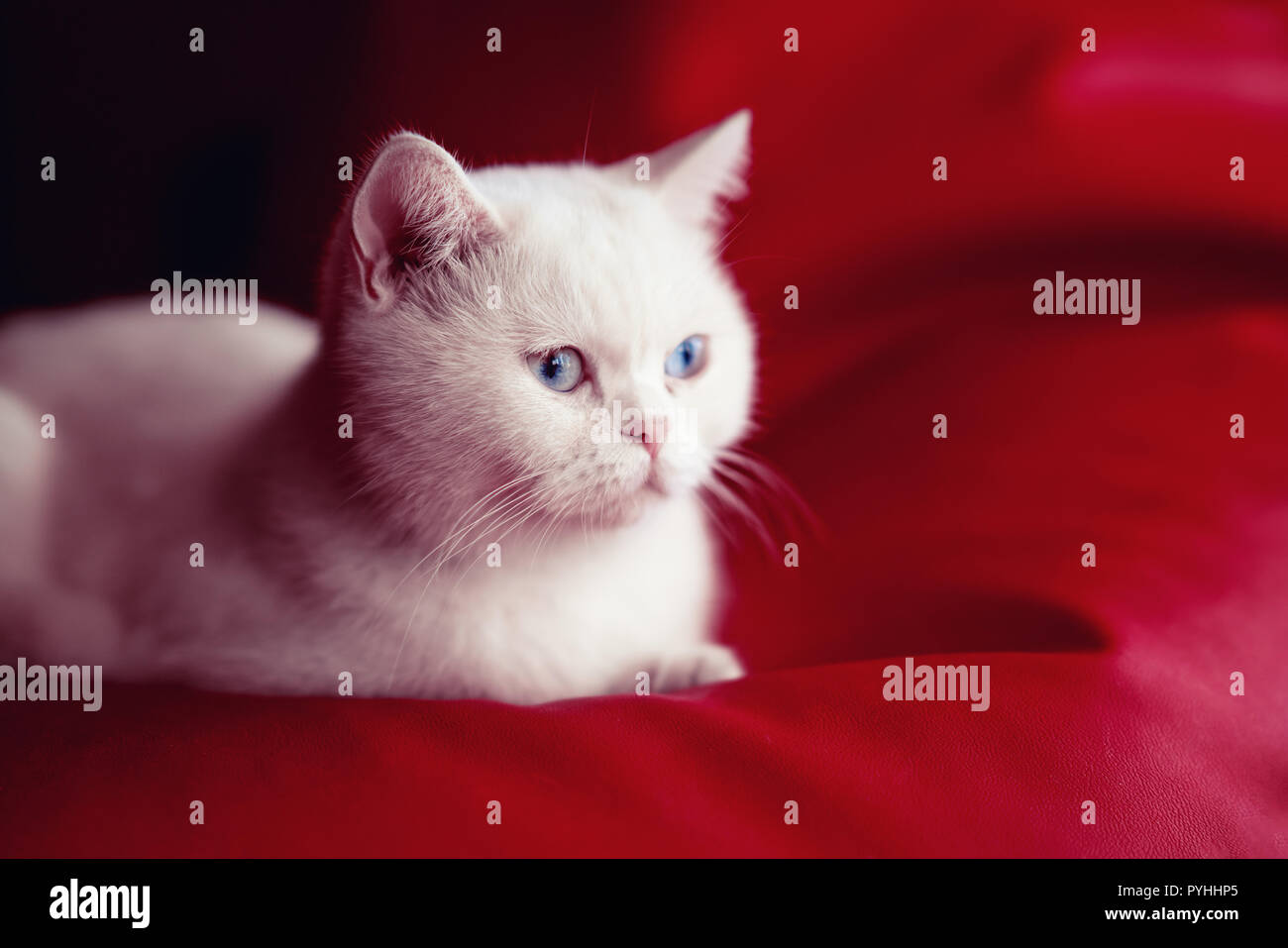 Persian cat, sitting in front of red background - Stock Image