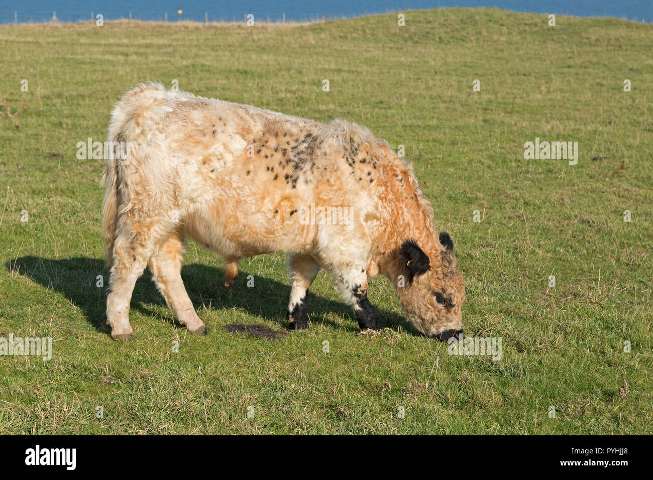 cattle grazing on Oberland (upper land), Heligoland, Schleswig-Holstein, Germany Stock Photo
