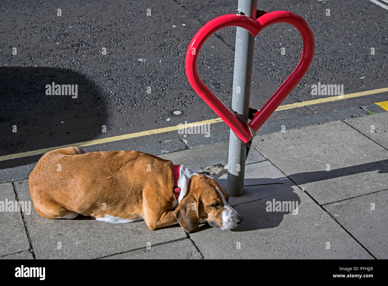 A dog sleeping tied to a heart shaped bicycle stand in Edinburgh. Stock Photo