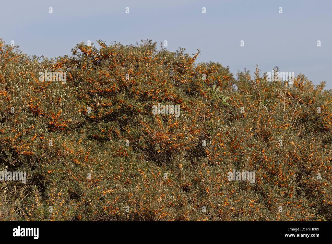 sallow thorn (Hippophae rhamnoides), Duene (Dune), Heligoland, Schleswig-Holstein, Germany - Stock Image