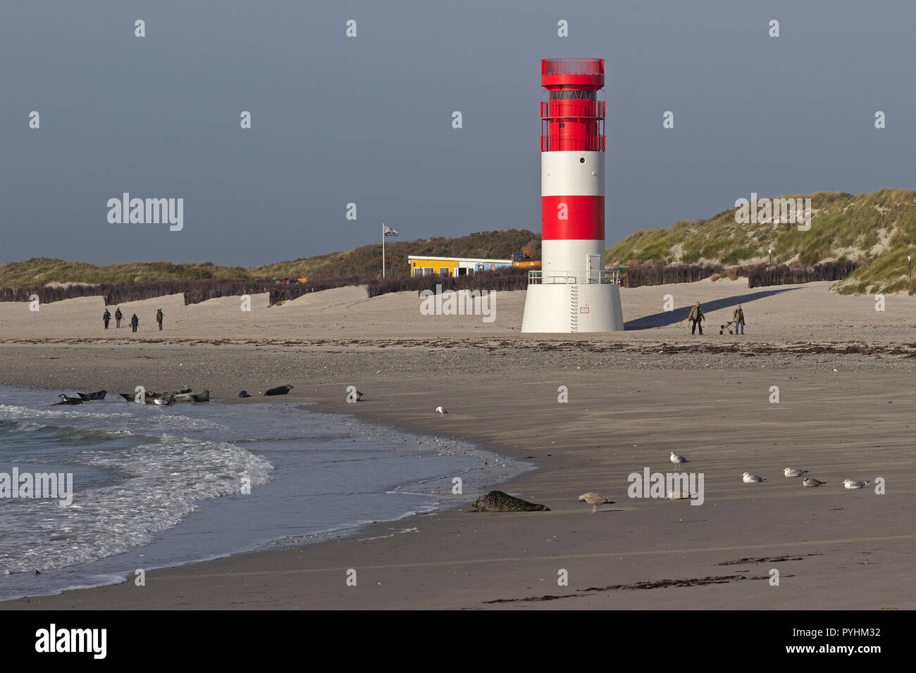 seals in front of the lighthouse, Duene (dune), Heligoland, Schleswig-Holstein, Germany - Stock Image