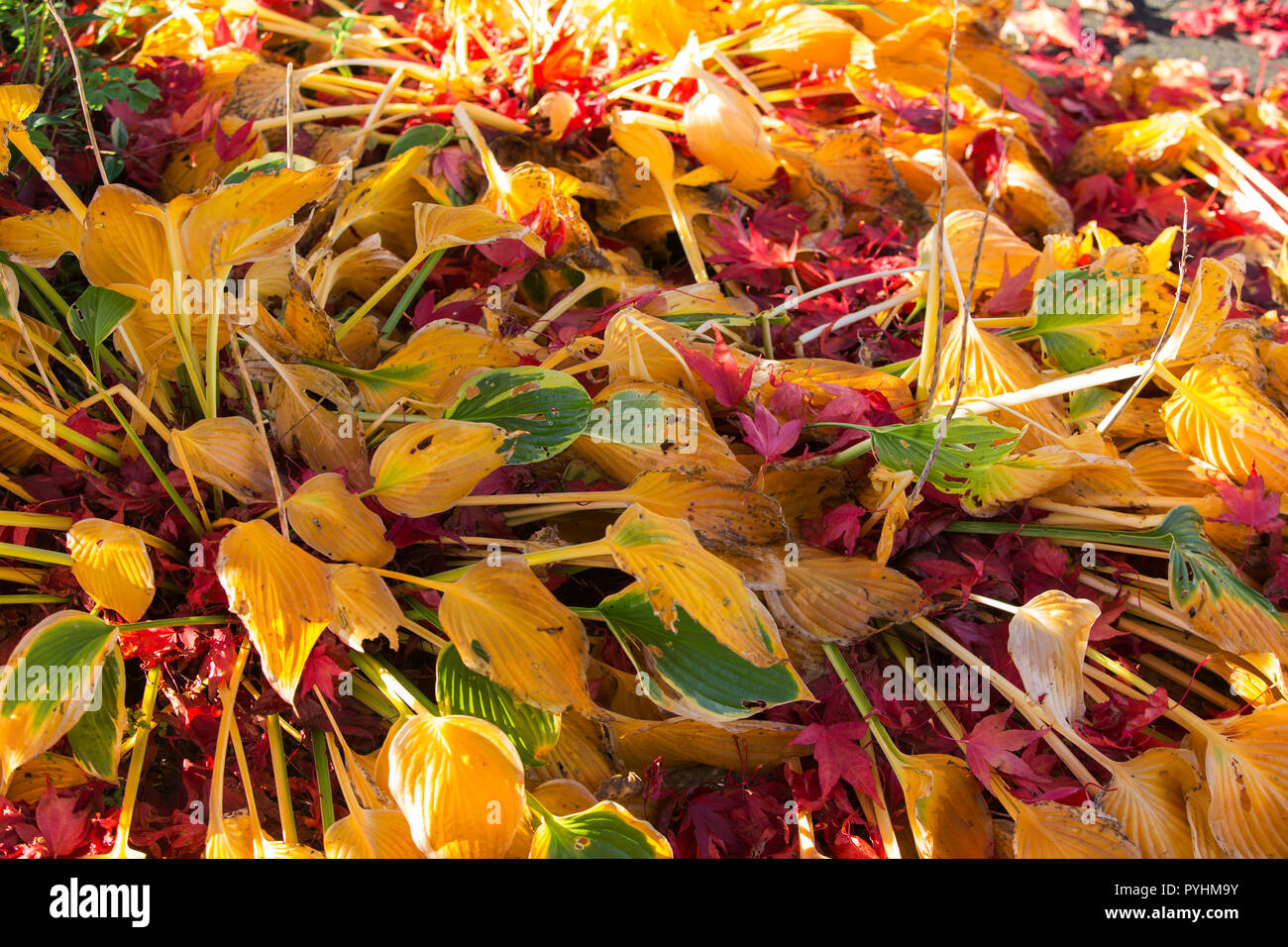 Acer Leaves On Hosta Plants In Autumn Stock Photo 223509271 Alamy
