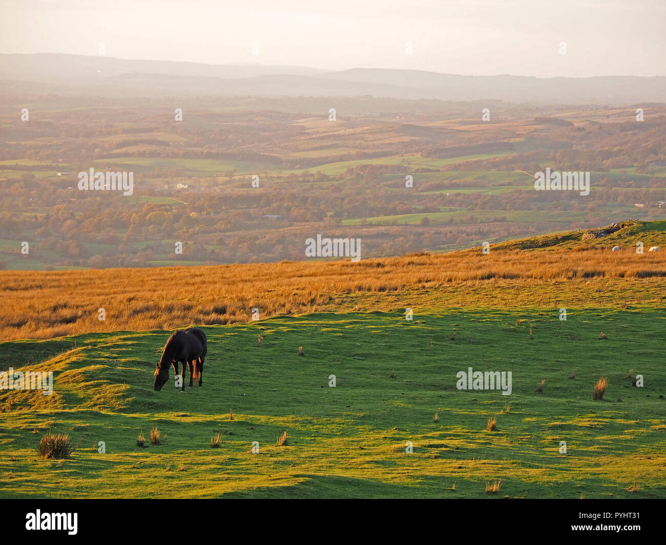 single horse grazing on upland meadow bathed in golden evening light in the North Pennines Cumbria, England, UK - Stock Image