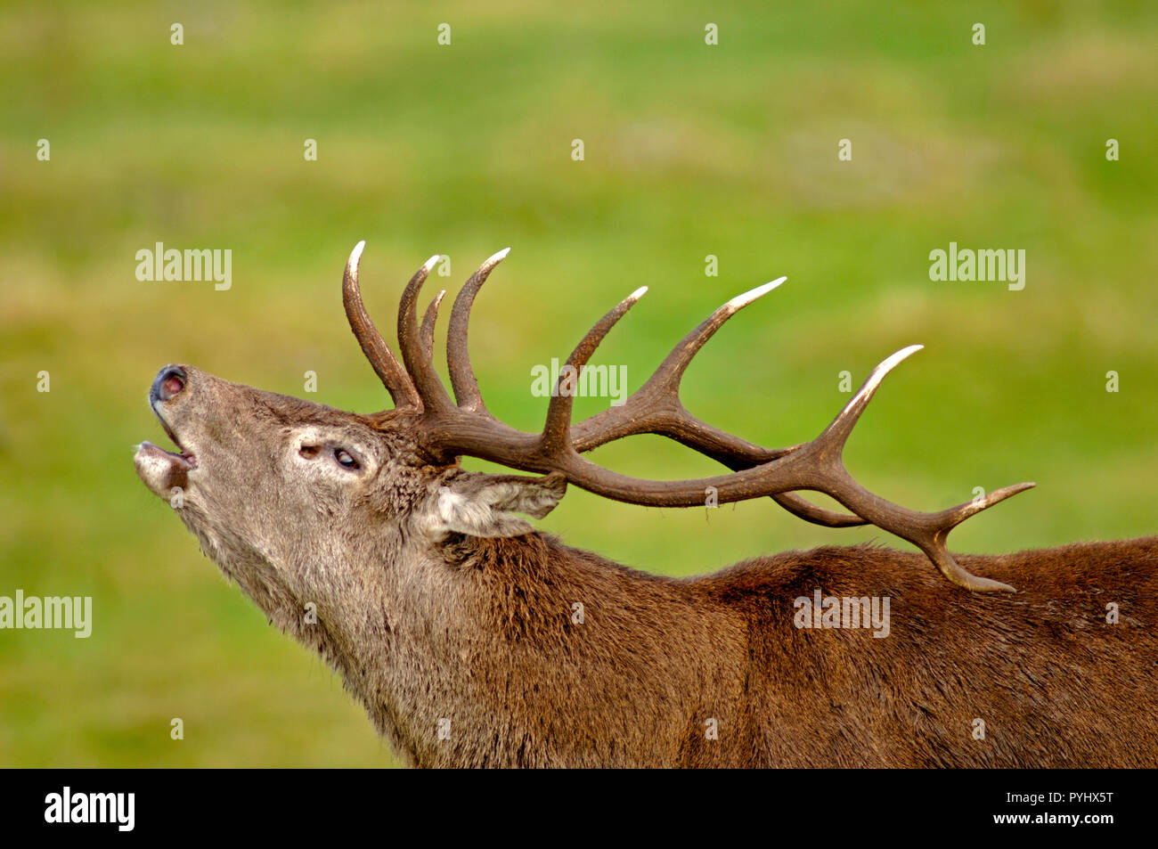 Red Deer stag doing the Autumn Rut bellowing out a challenge to other competing males for access to the harem of females which can result in fights. Stock Photo