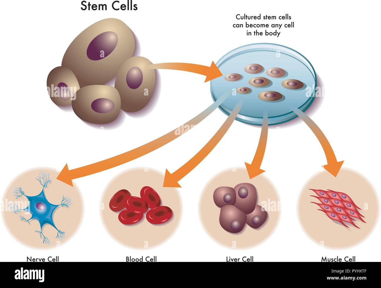 Human Muscle Cells Stock Photos Human Muscle Cells Stock Images
