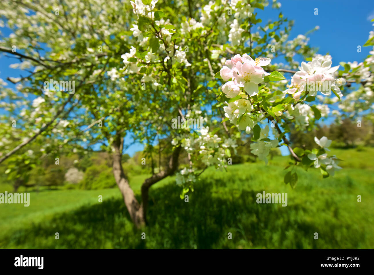 Close focus of apple blossom and tree with soft bokeh on surrounding trees, taken in spring in Ct, New England - Stock Image