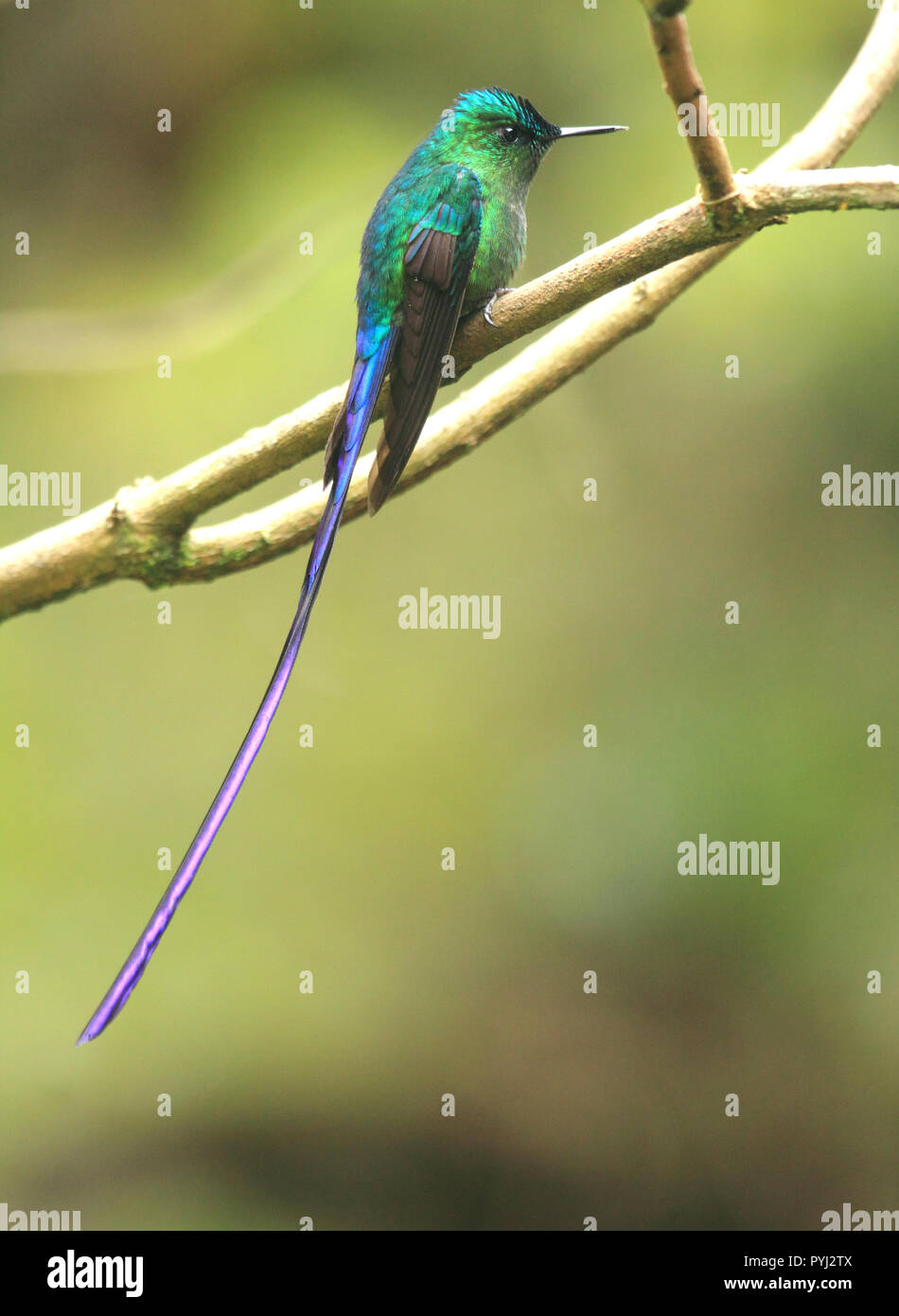 Gorgeous long tailed sylph male hummingbird  perched in its natural habitat the tropical rainforest. - Stock Image