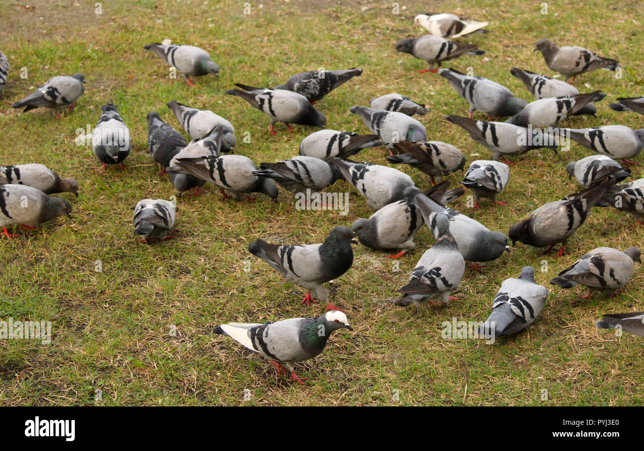 Pigeons searching food - Stock Image