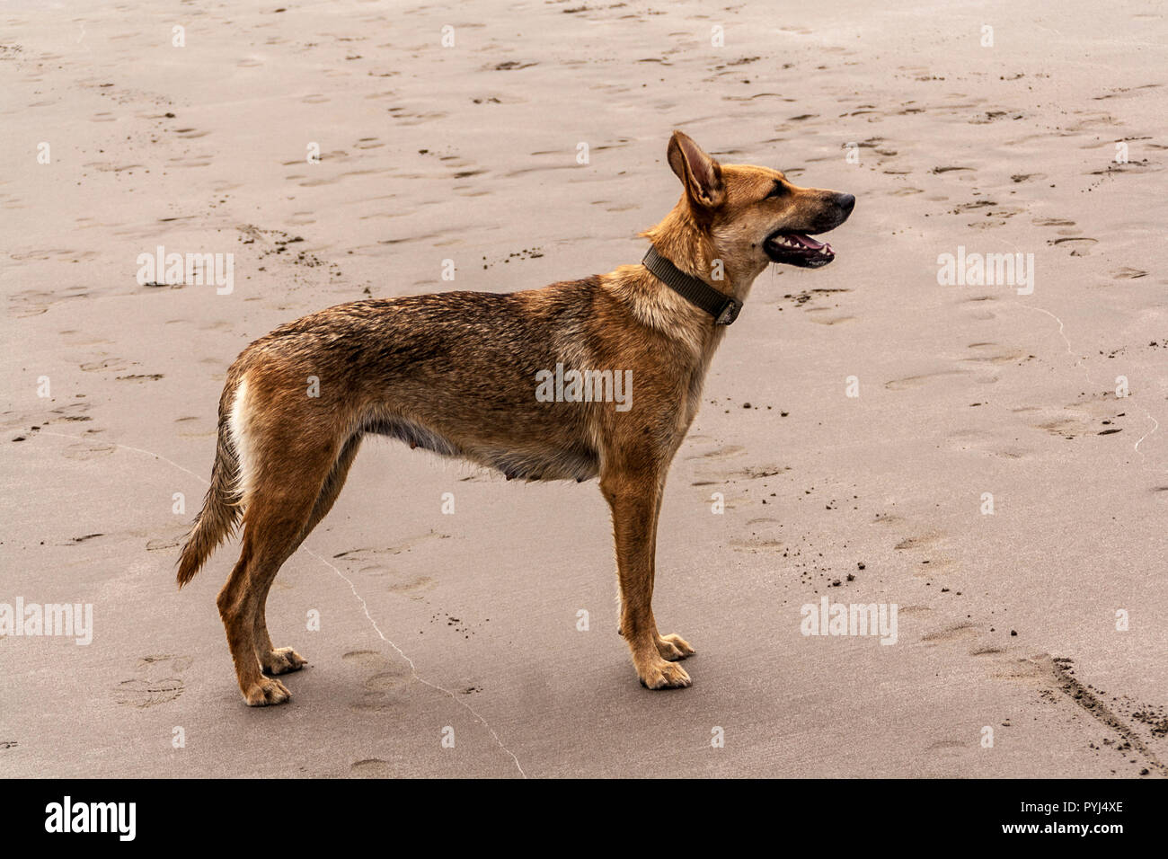Female dog - Stock Image