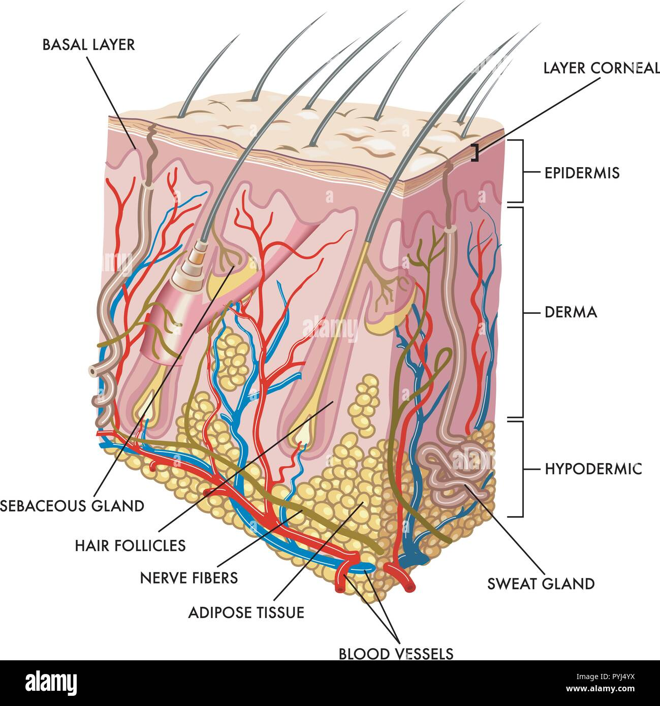 Medical illustration of the section of skin - Stock Vector