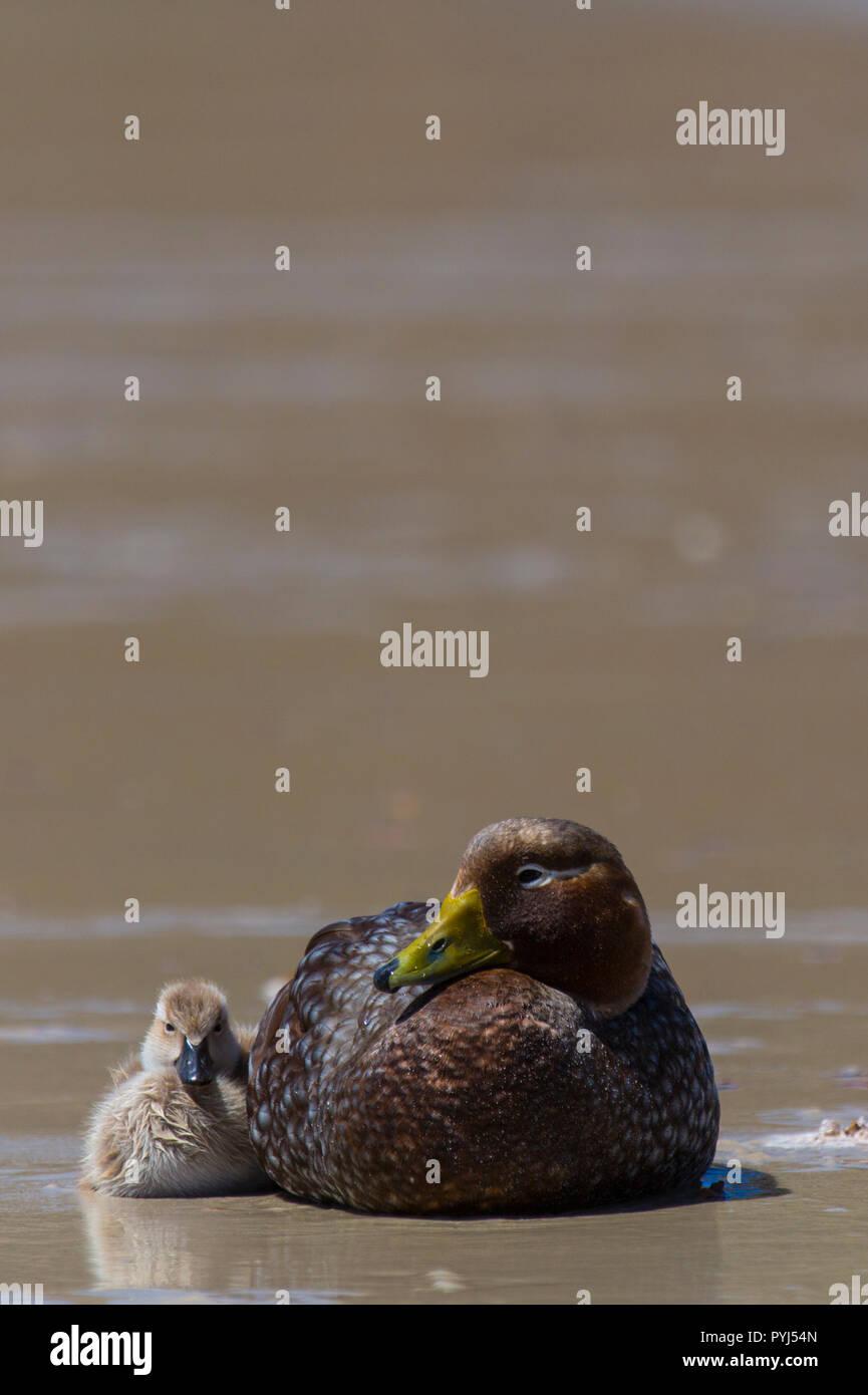 Falkland Steamer Duck, New Island, Falkland Islands. - Stock Image