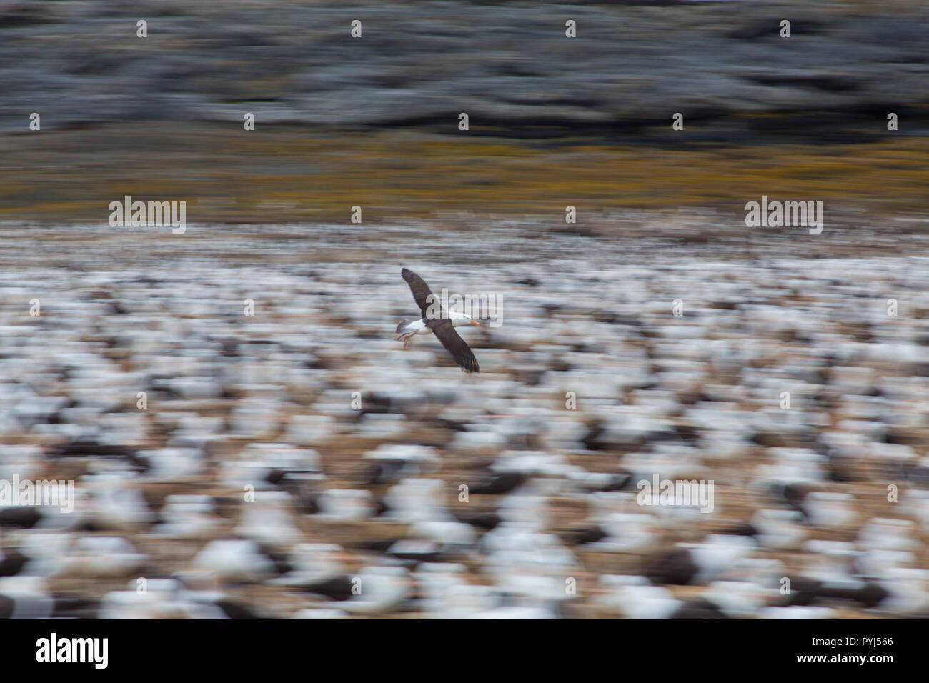 Black-browed albatross colony, Steeple Jason Island, Falklands. - Stock Image