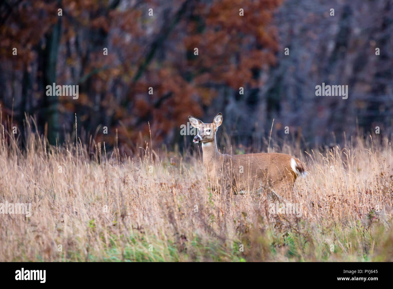 White-tailed deer  (odocoileus virginianus) with tounge sticking out. - Stock Image