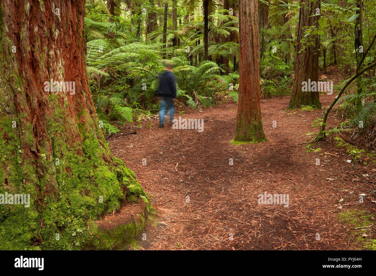 Person on walking track through The Redwoods (Whakarewarewa Forest), Rotorua, North Island, New Zealand (MR) - Stock Image