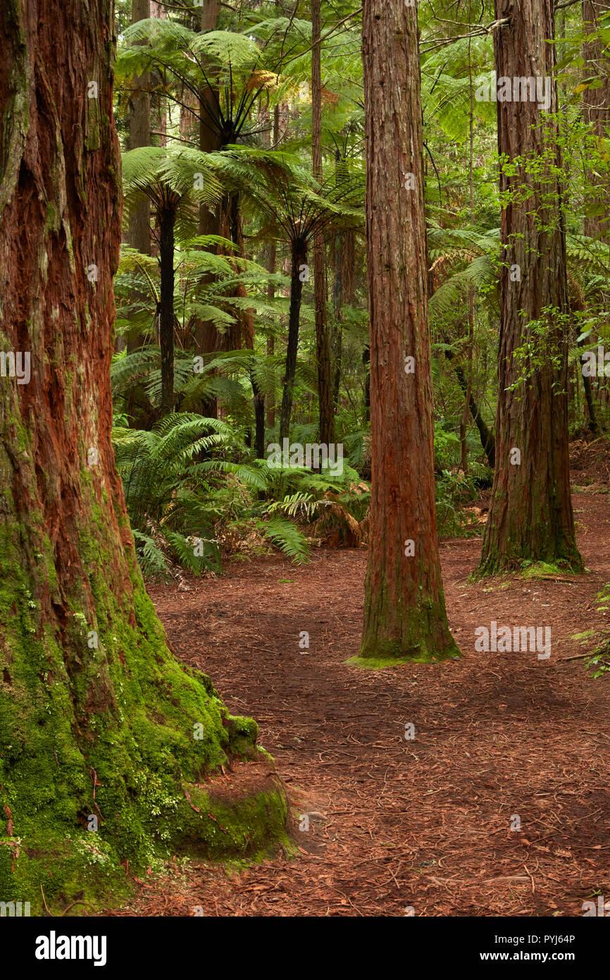 Walking track through The Redwoods (Whakarewarewa Forest), Rotorua, North Island, New Zealand - Stock Image