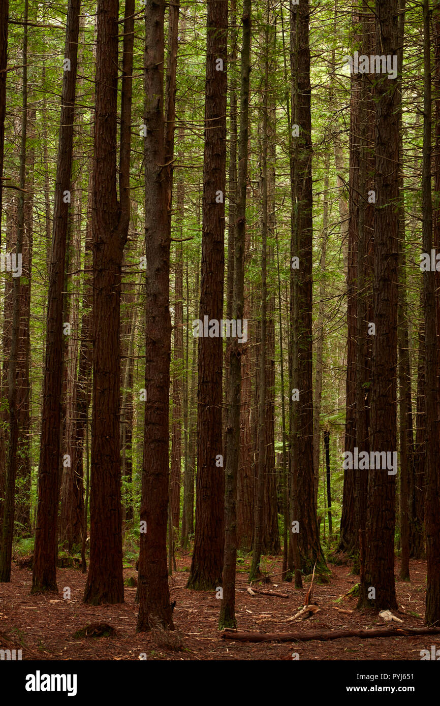 Redwood tree trunks, The Redwoods (Whakarewarewa Forest), Rotorua, North Island, New Zealand - Stock Image