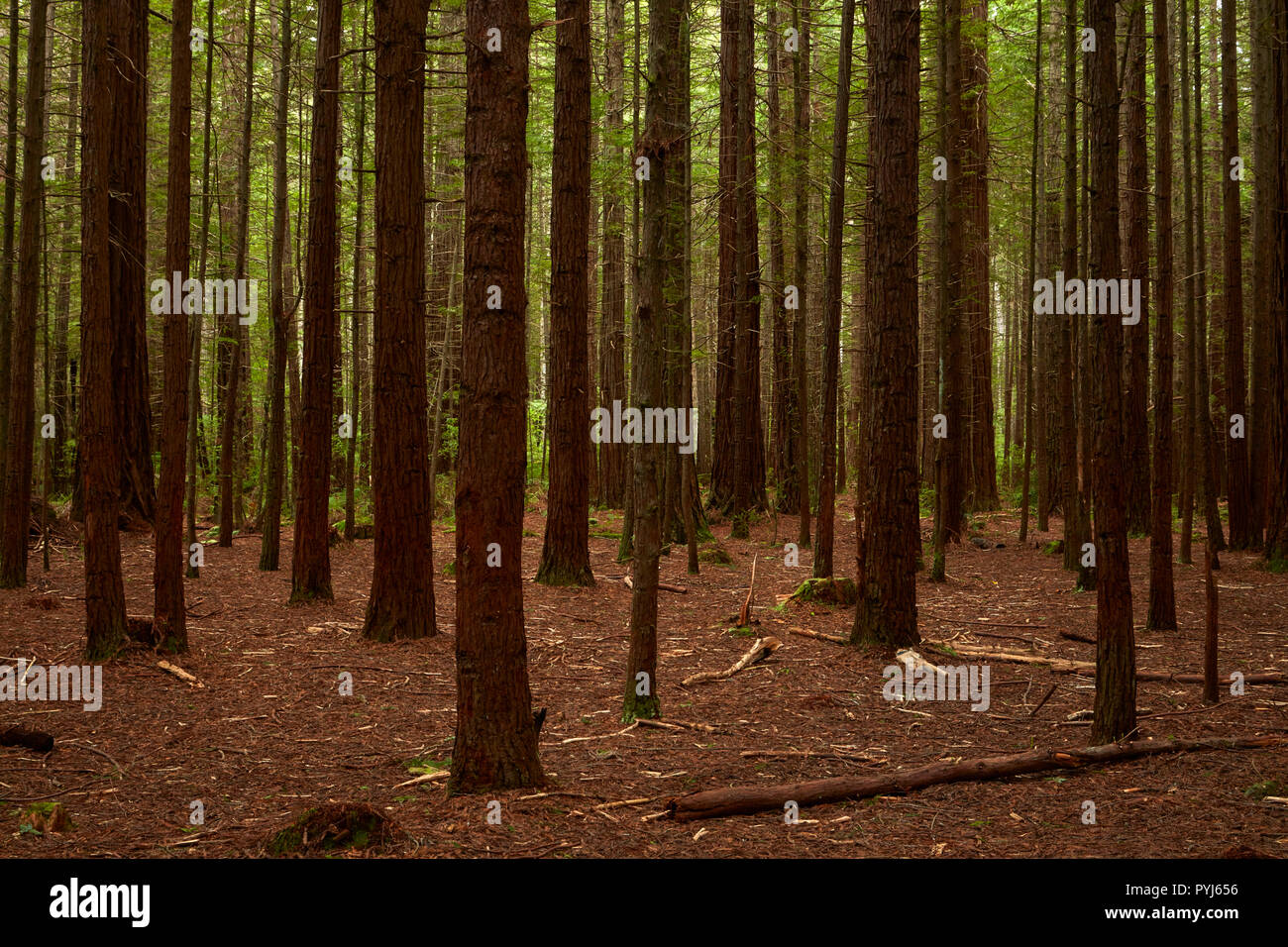 Redwood tree trunks, The Redwoods (Whakarewarewa Forest), Rotorua, North Island, New Zealand Stock Photo