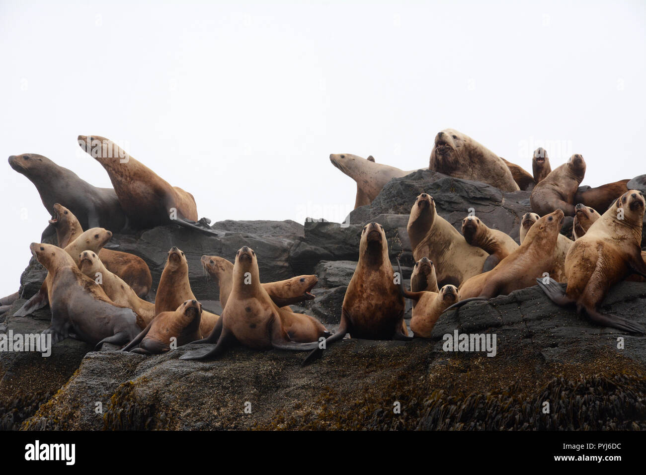 A colony of steller sea lions, including a large male (bull), on a rookery during breeding season, in the Aleutian Islands, Bering Sea, Alaska. - Stock Image