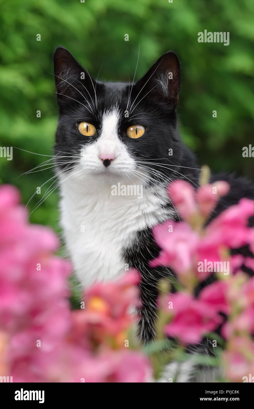 Black and white cat, European Shorthair, looking through pink blossoms with prying eyes, portrait - Stock Image
