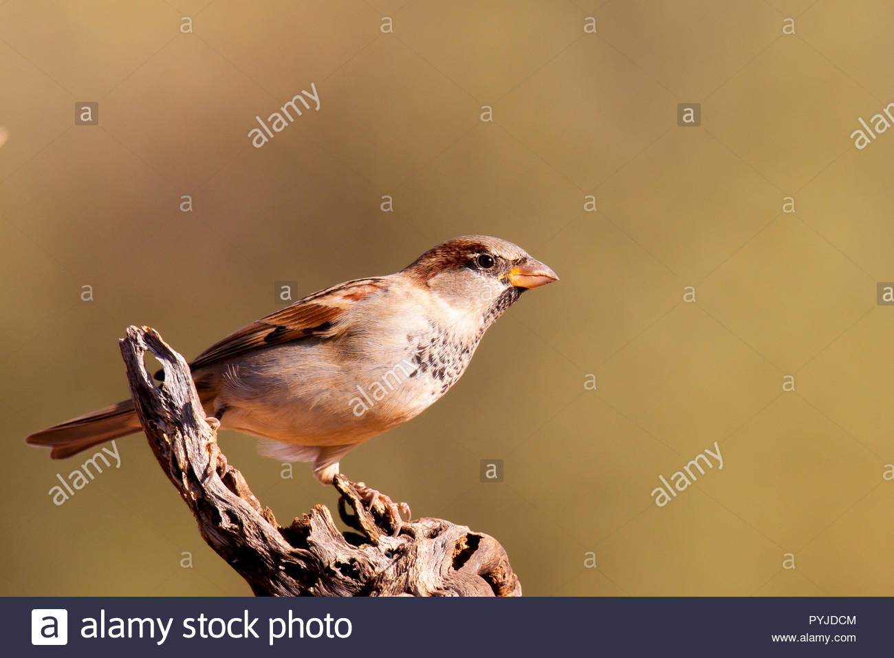 Slate-colored fox sparrow highlighted against soft blur of background. - Stock Image
