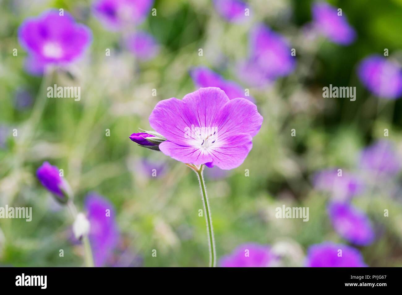 Geranium 'Orion' flowers. - Stock Image