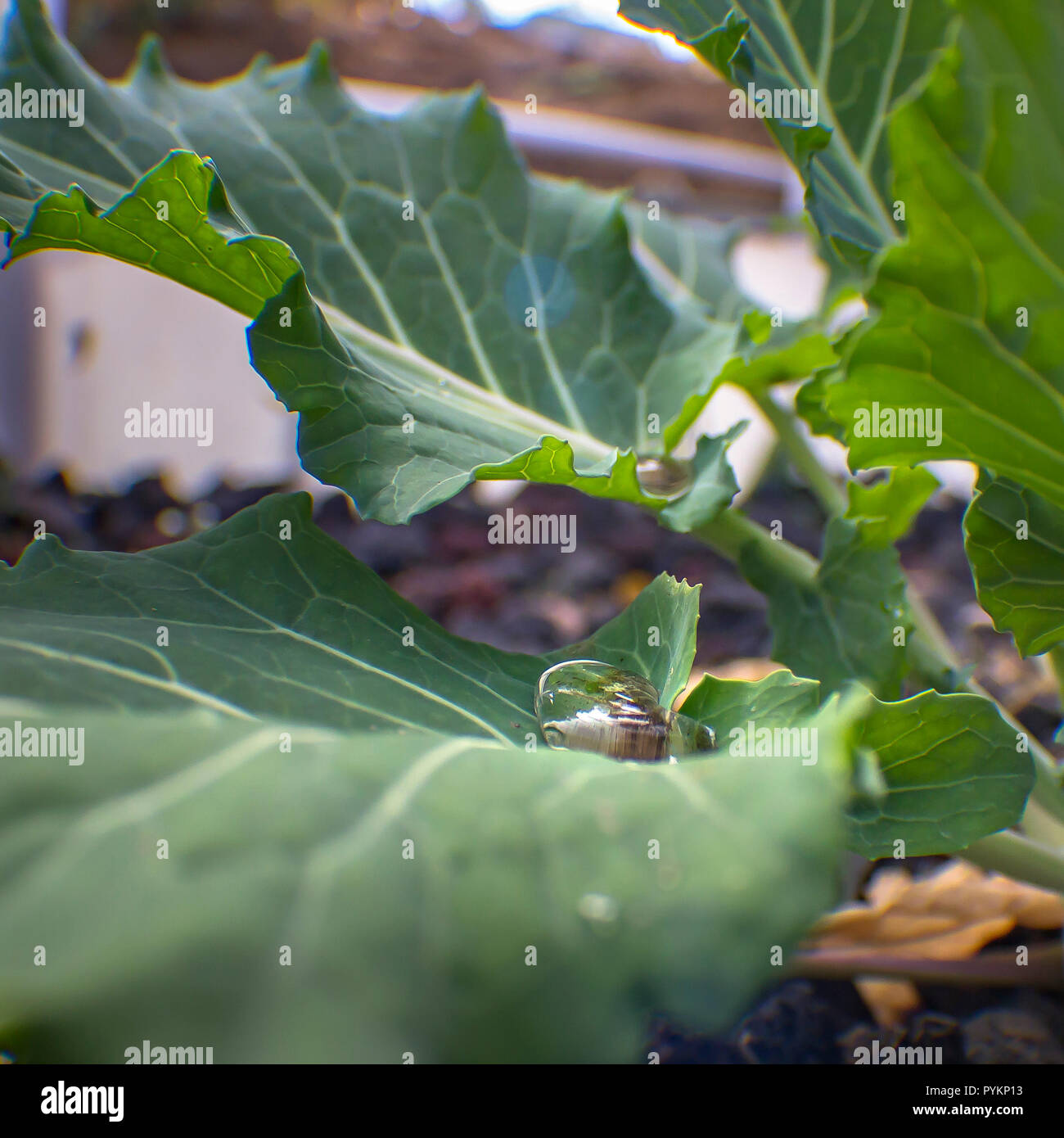 Dewdrops caught on green leaves of a plant - Stock Image