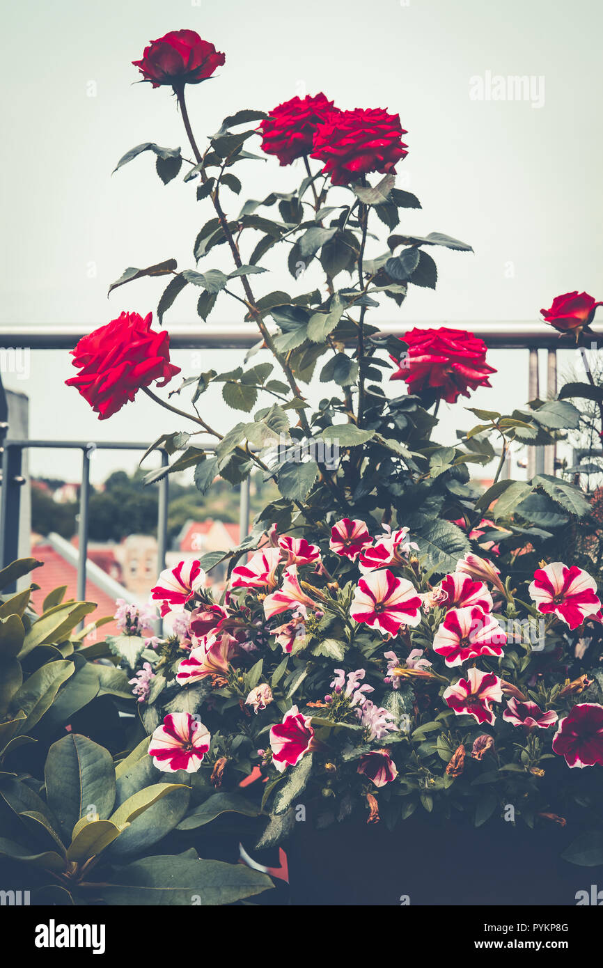 Autumn Balcony Garden With Roses And Petunia Various Flowers Pots