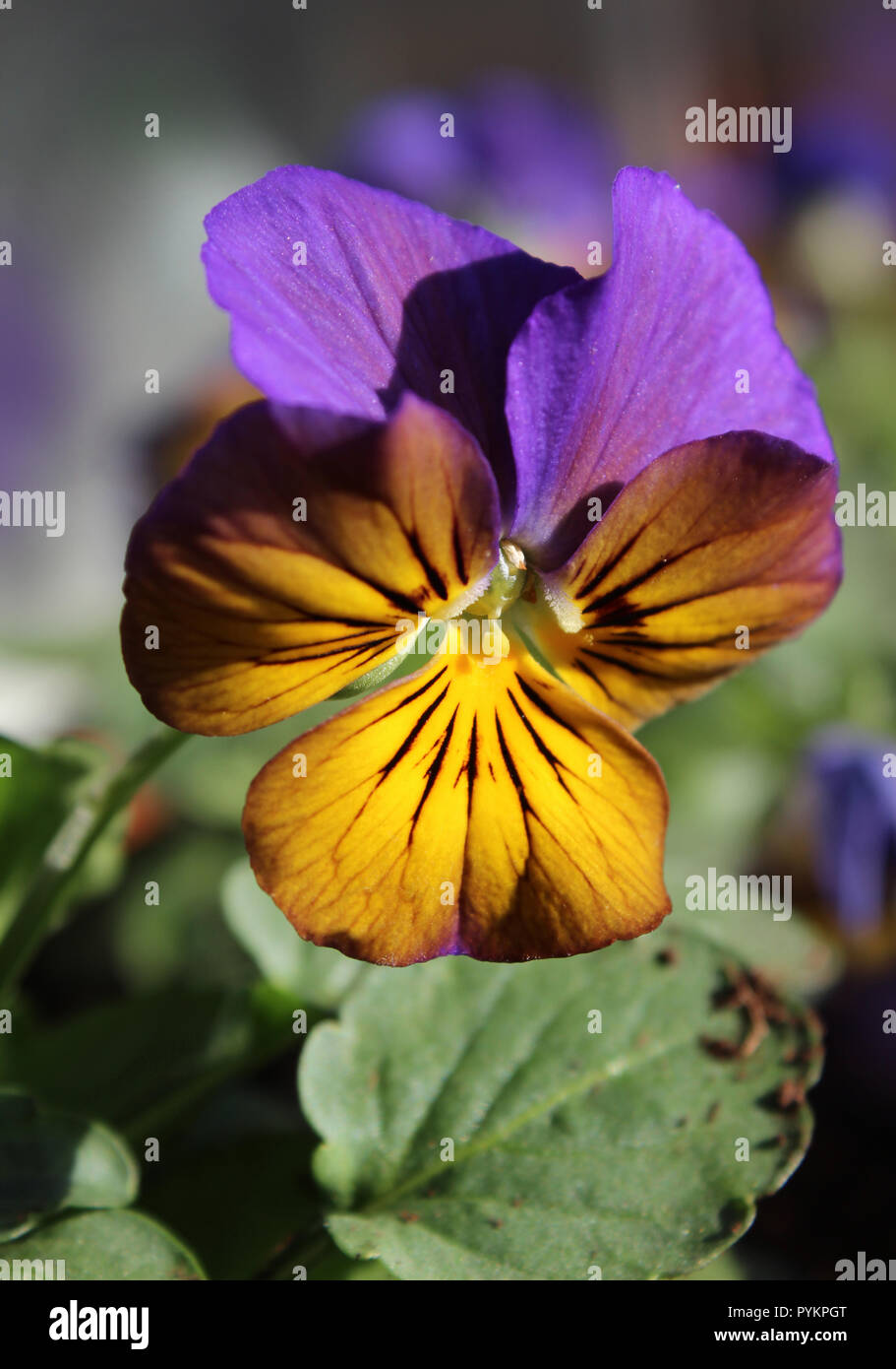 The beautiful yellow and purple flower head of the ornamental Viola plant, close up outdoors. - Stock Image